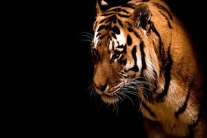 Tiger in Dark