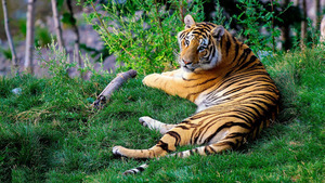 Tiger in Green Grass Superb Wallpaper