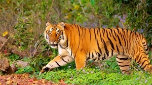 Tiger in Jim Corbett National Park
