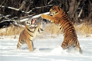 Two Tigers Fighting in Snowy Wather HD Wild Animal Wallpaper