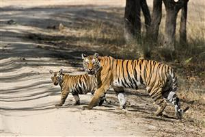 Walking Tiger With Cub