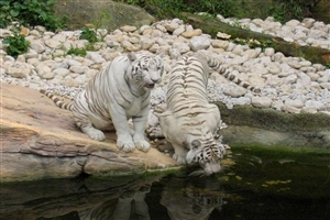 White Tiger Drinking Water in Lake Wallpaper
