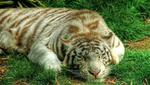 White Tiger Sleeping Cutest Wallpaper