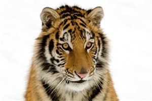 Wild Animal Tiger Image