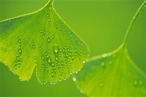 Beautiful Water Drops on Leaf