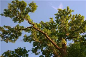 Tree and Sky Wallpaper