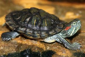 Beautiful Slider Turtle Animal Pics