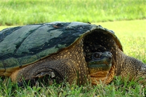 Big Turtle in Garden High Quality Wallpaper