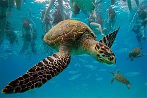 HD Turtle with Bill Swim in Sea
