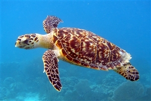 Sea Turtle Reptile Animal