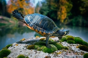 Turtle Standing on Two Leg Photo