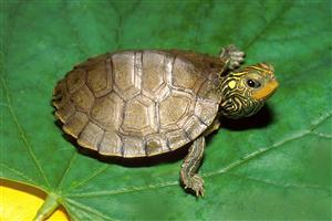 Turtle on Green Leaf